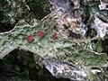 Lobaria macaronesica C. Cornejo & Scheid 407119.jpg