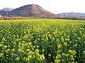 """Località molinu, fiori di """"lansana"""" (senape) - panoramio.jpg"""