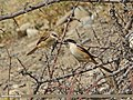 Long-tailed Shrike (Lanius schach) (16573298722).jpg