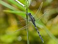 Long Skimmer (Orthetrum trinacria) (13647160125).jpg