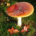 Look how enormous this Amanita Muscaria (Fly Agaric mushroom. Quintessential it is a toadstool because of its poissoness. Syn. Fly amanita, D= Fliegenpilz, F= Amanite tue-mouches, NL= Vliegenzwam) is. Compared to the oa - panoramio.jpg