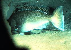 Tilefish live in burrows, sometimes forming undersea Pueblo villages.  Lopholatilus chamaeleonticeps
