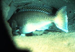 Tilefish - Tilefish live in burrows, sometimes forming undersea Pueblo villages. Lopholatilus chamaeleonticeps