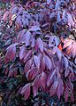 Loropetalum chinense Pipa's Red kz1.jpg