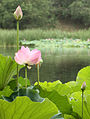 Lots lotus.jpg