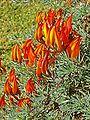 Lotus maculatus K2.jpg