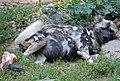 Lounging wild dog (2830193295).jpg