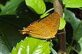 Loxura atymnus - Yamfly 14.JPG