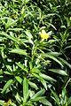 Ludwigia grandiflora kz4.jpg