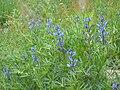 Lupinus angustifolius 1.jpg