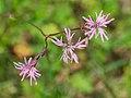 Lychnis flos-cuculi in Aveyron (14).jpg