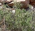 Lycium andersonii 2.jpg