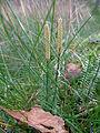 Lycopodium annotinum 01.JPG