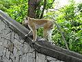 Macaca sinica in Dambulla 07.JPG