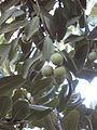 Macadamia tetraphylla - Jardin d'Éden.JPG