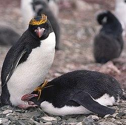 http://en.wikipedia.org/wiki/Macaroni_Penguin