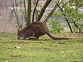 Macropus parma-PragueZOO.jpg