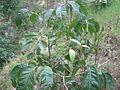 Madhuca longifolia Np.JPG