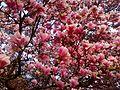Magnolia blossoms.jpg