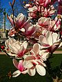 Magnolienblüte - panoramio.jpg
