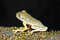 Malabar Gliding Frog Rhacophorus malabaricus Juvenile by Dr. Raju Kasambe DSCN0188 (20).jpg