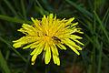 Malachius bipustulatus on Taraxacum.jpg