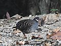 Malaysian Partridge (Arborophila campbelli).jpg
