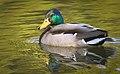 Mallard drake (49801173482).jpg