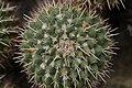 Mammillaria compressa (40257005774).jpg