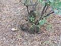 Mammillaria polyedra (5741823515).jpg
