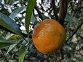 Mandarin Orange.jpg