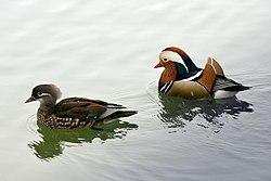 Mandarin duck Aix galericulata.jpg