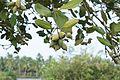 Mangrove 04465.jpg