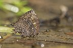 Many tailed oakblue from siruvani IMG 3853.jpg