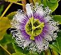 Maracuja--Blüte.jpg