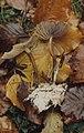 Marasmius globularis, Ginger stipe, Lords Wood. Mycelium probably a different species as goes up old stipe. 1971 (25386097069).jpg