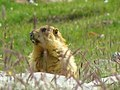 Marmot at Baroghal Pass.JPG