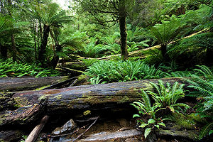 Carboniferous rainforest collapse - Ferns and treeferns from Mount Field National Park, giving an impression of how a Carboniferous rainforest might have looked.