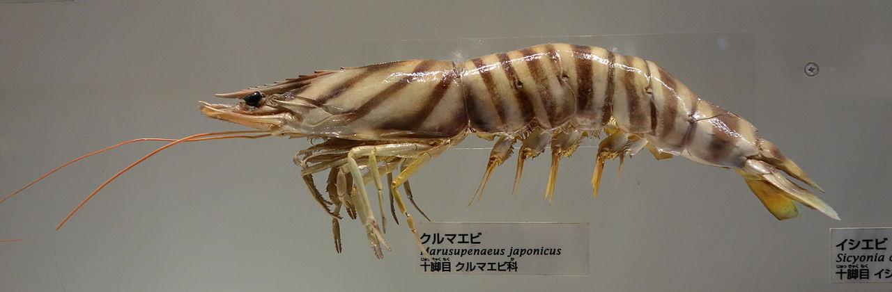 1280px-Marsupenaeus_japonicus_-_National