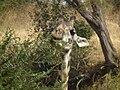 Masai Giraffe Giraffa camelopardalis tippelskirchi in Tanzania 0784 Nevit.jpg