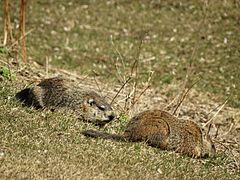 Mated Groundhogs, female left, male right DSC04443....jpg