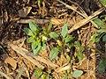 Mecardonia procumbens 06a.JPG