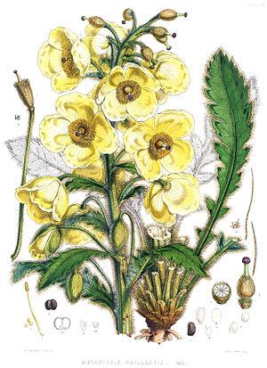Meconopsis napaulensis - Image: Meconopsis nepalensis