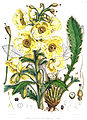 Meconopsis nepalensis.jpg