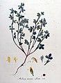 Medicago minima—Flora Batava of Afbeelding en Beschrijving van Nederlandsche Gewassen, IX Deel. (1846).jpg