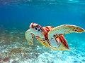 Meeresschildkröte Malediven.jpg