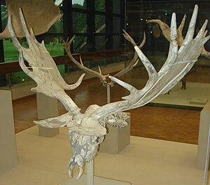 Irish elk - Skull of M. g. antecedens