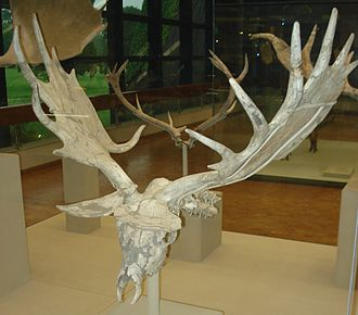Irish elk - Skull of M. g. antecedens