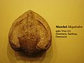 Megalodon shell.JPG