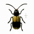Megalognatha unifasciata.png